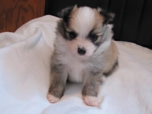 Pom A Ramacom Registered Male Pomeranian Puppies