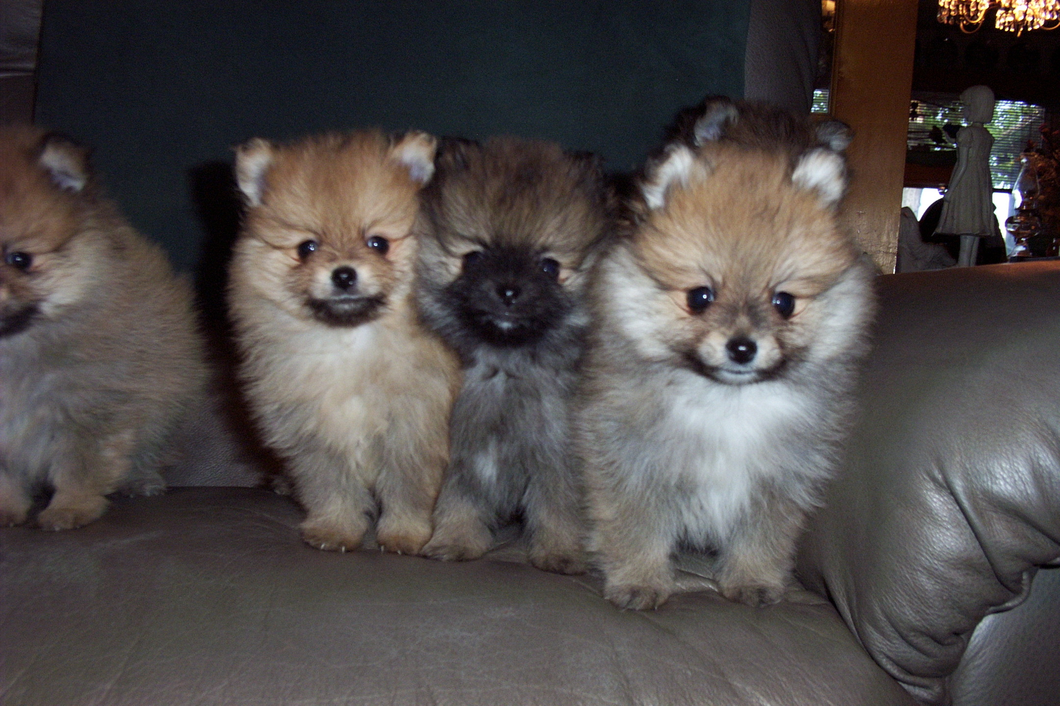 wolf sable pomeranian for sale the gallery for gt wolf sable pomeranian puppies for sale 1462